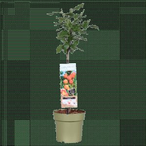 Boskoopse fruitbomen pruimenboom pruim