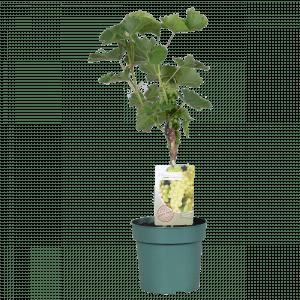 Boskoopse fruitbomen druif druivenboom