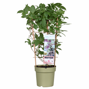 Boskoopse fruitbomen kiwi