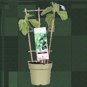 Boskoopse fruitbomen vijg vijgenstruik