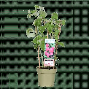 Boskoopse fruitbomen Framboos frambozenstruik