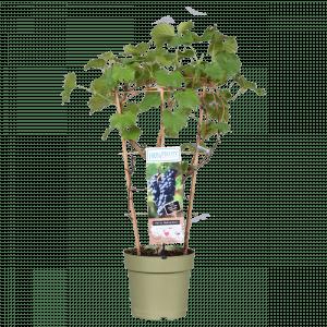 Boskoopse fruitbomen blauwe druif druivenstruik