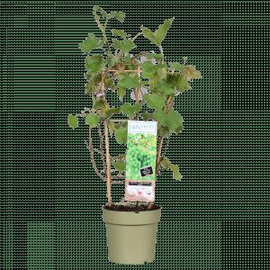 Boskoopse fruitbomen Witte druif druivenstruik