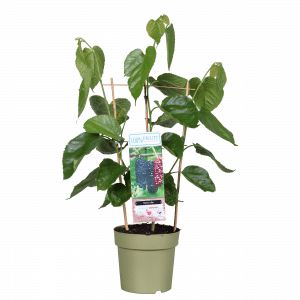 Boskoopse fruitbomen Moerbij