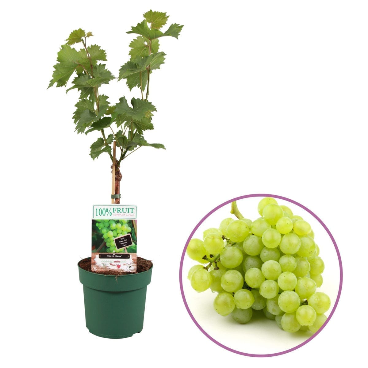 boskoopsefruitbomen | witte druif