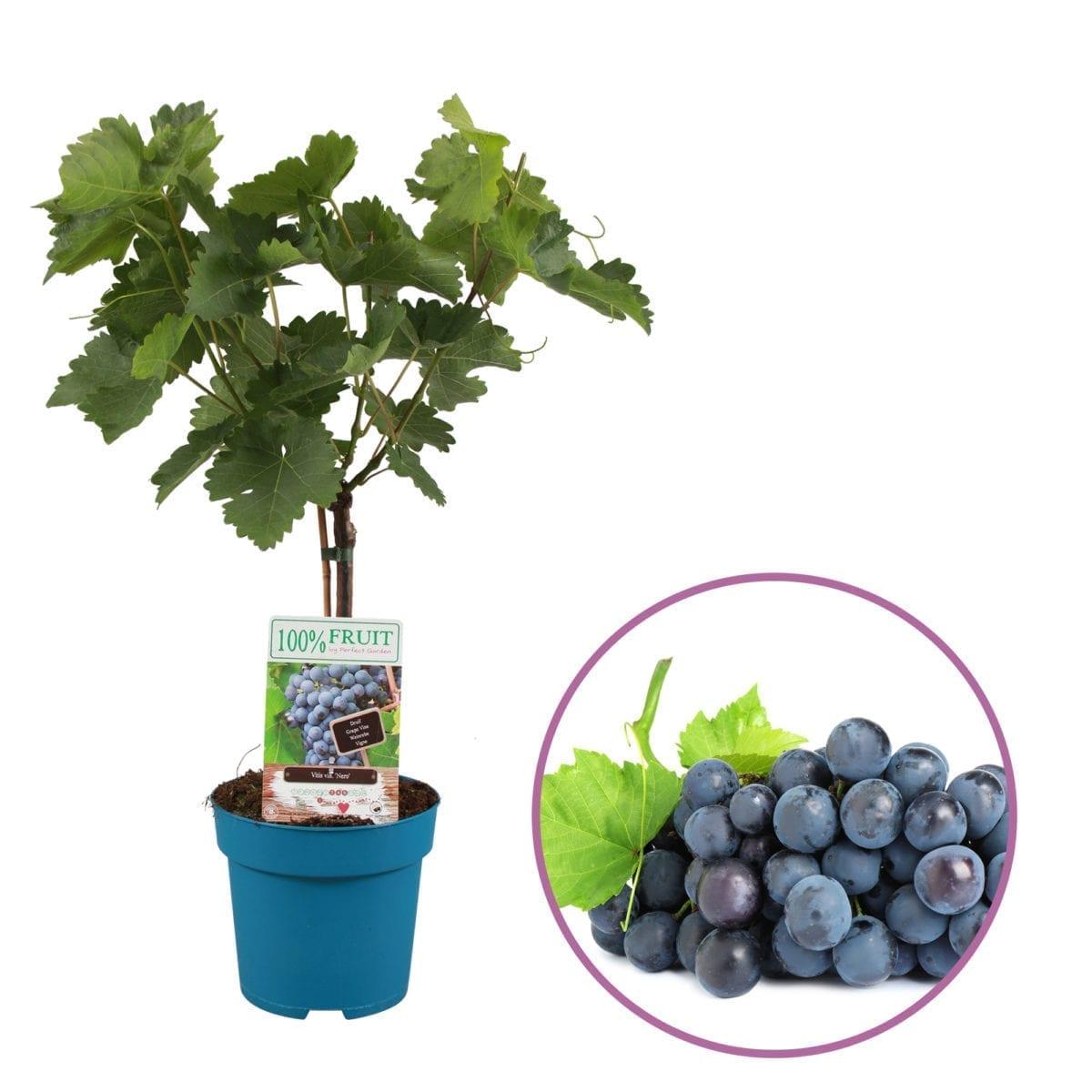 boskoopsefruitbomen | blauwe druif