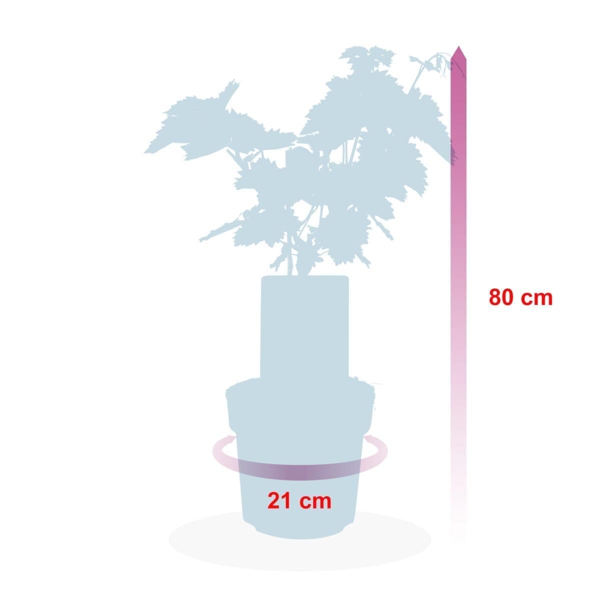 boskoopsefruitbomen | druif hoogte