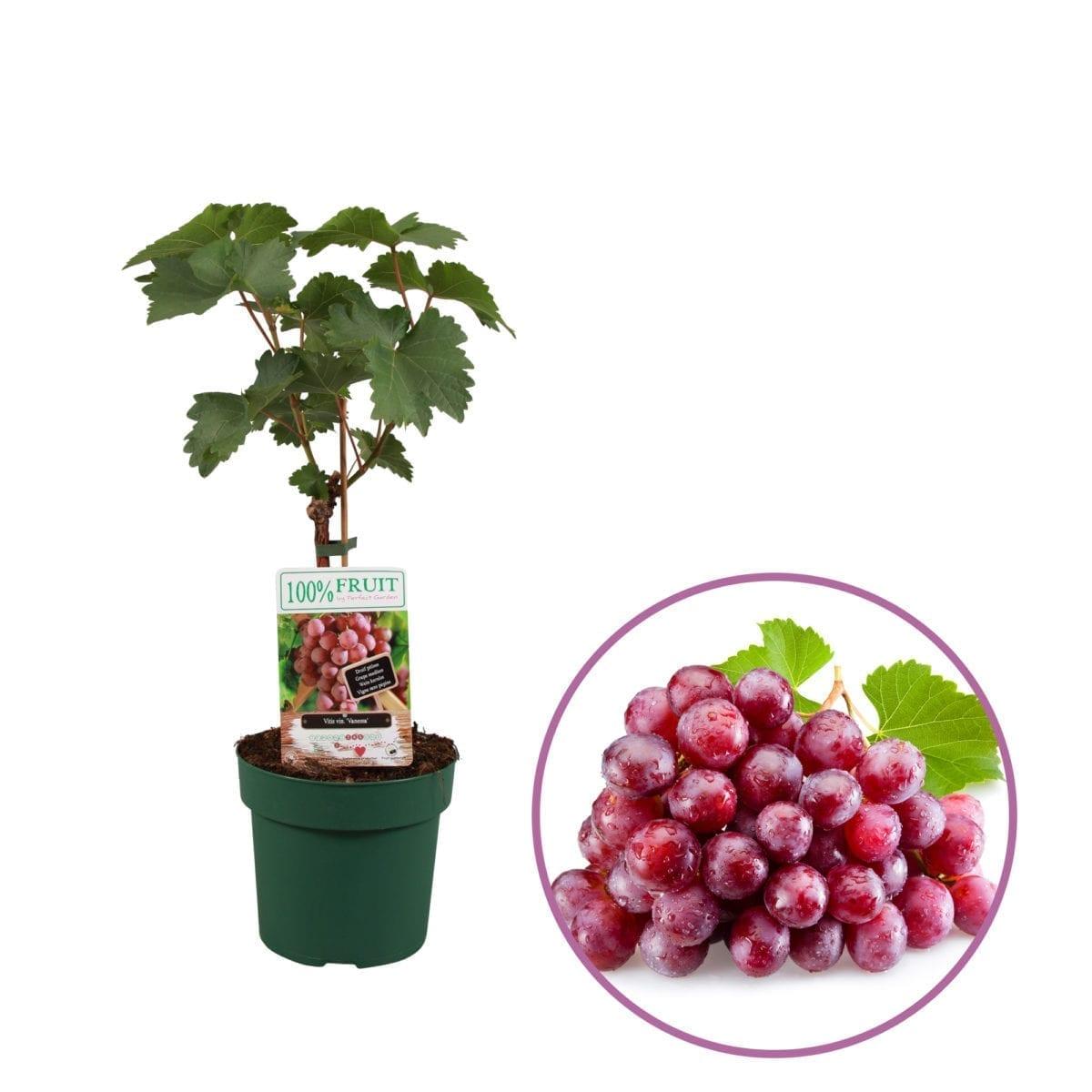 boskoopsefruitbomen | rode druif