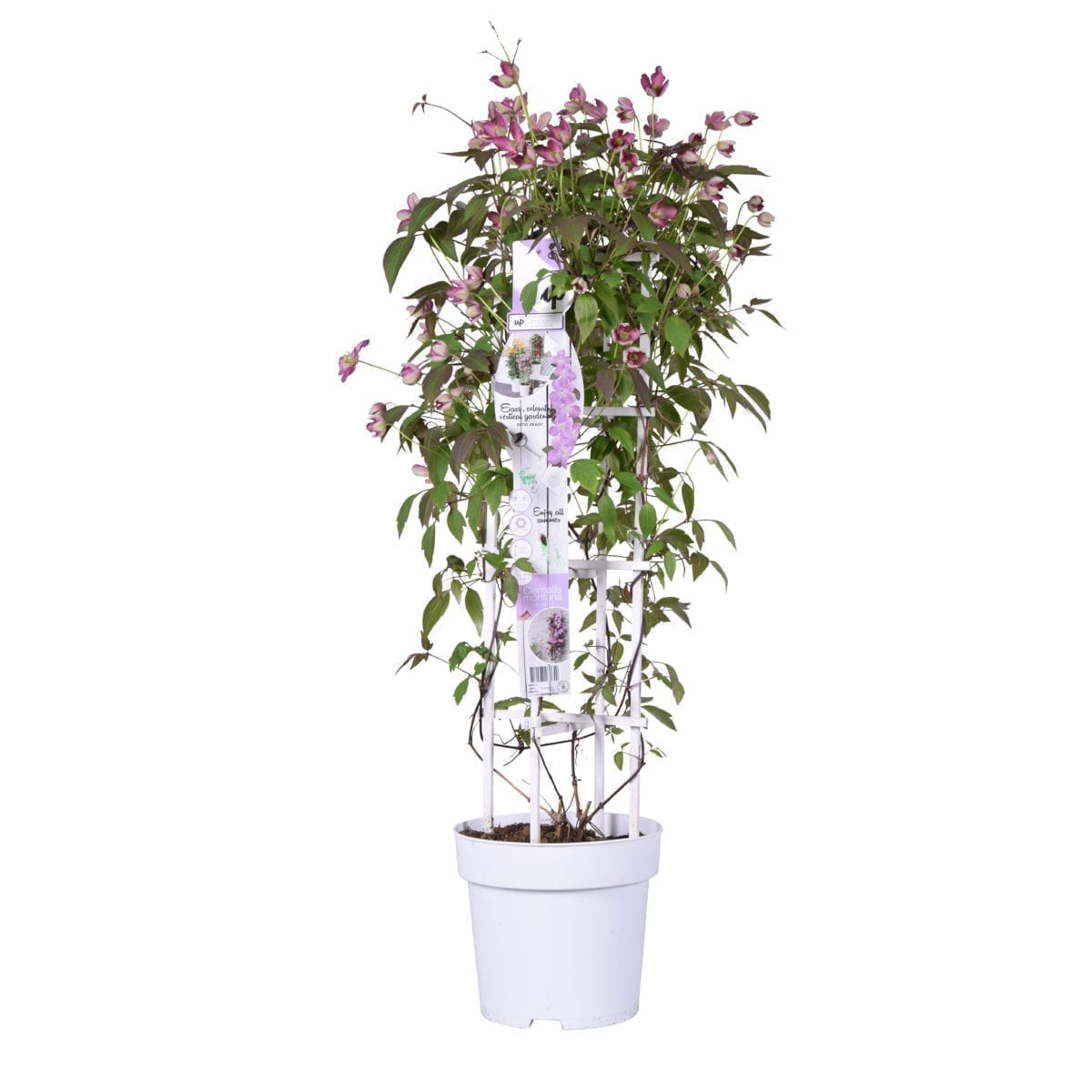 Clematis Fincent