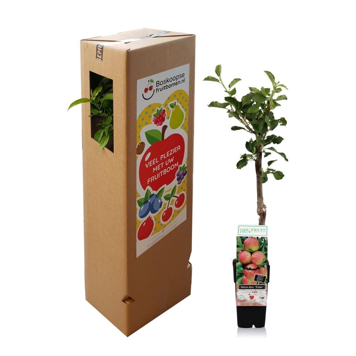 boskoopsefruitbomen | Appel Elstar met verzenddoos