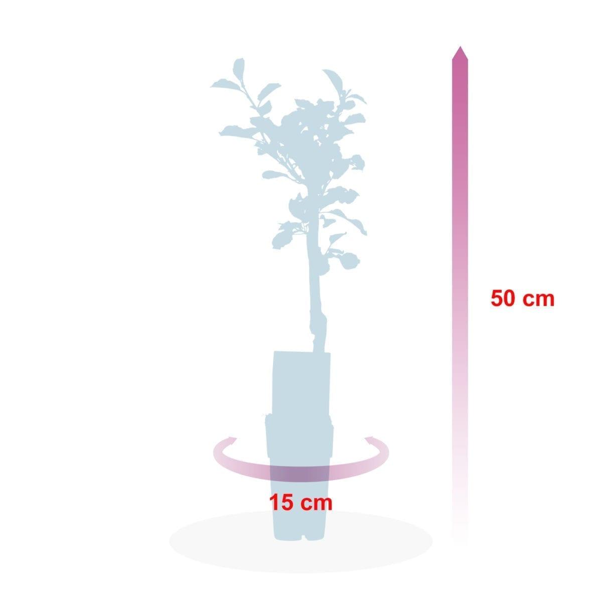boskoopsefruitbomen | Appel Elstar afmeting