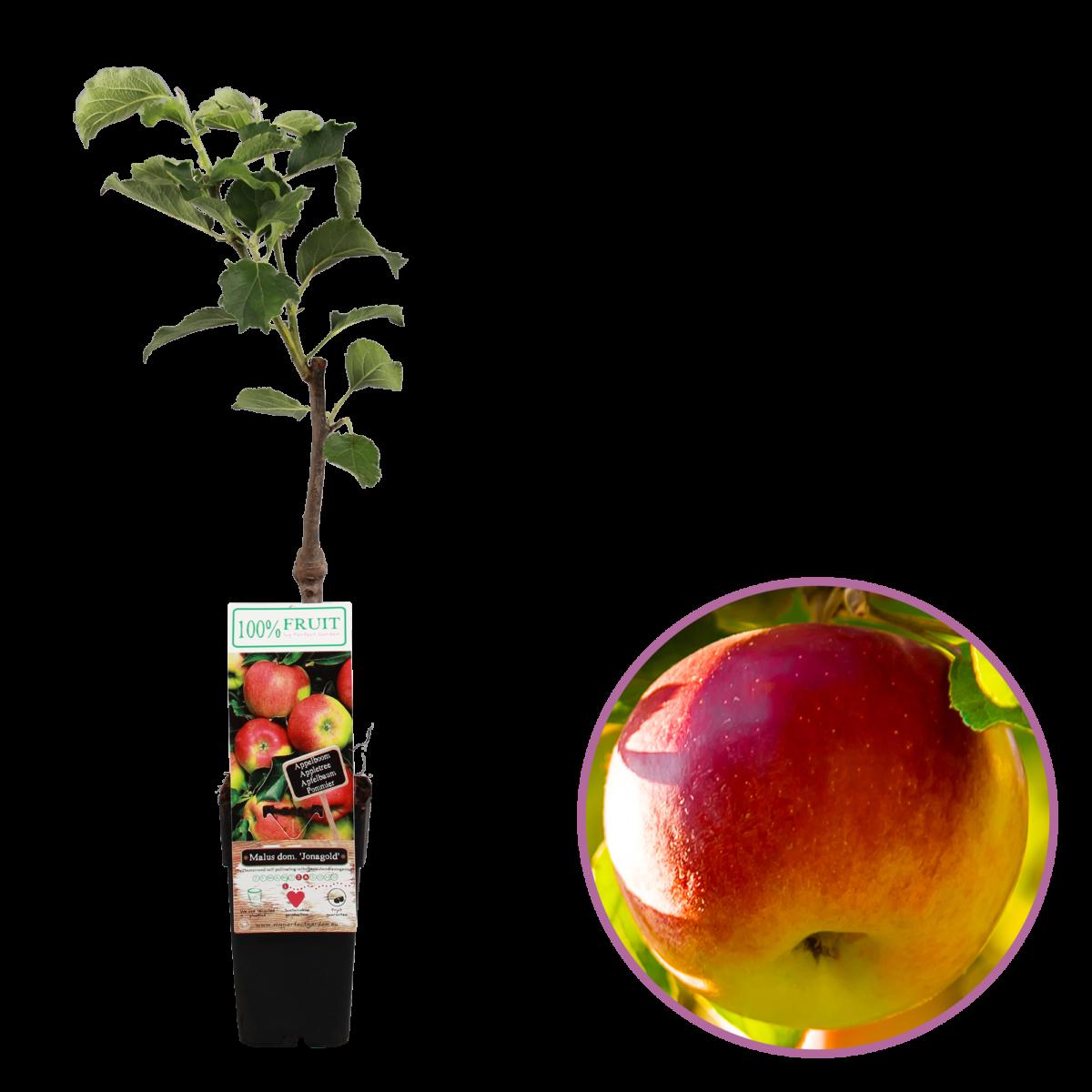 boskoopsefruitbomen | Appel jonagold
