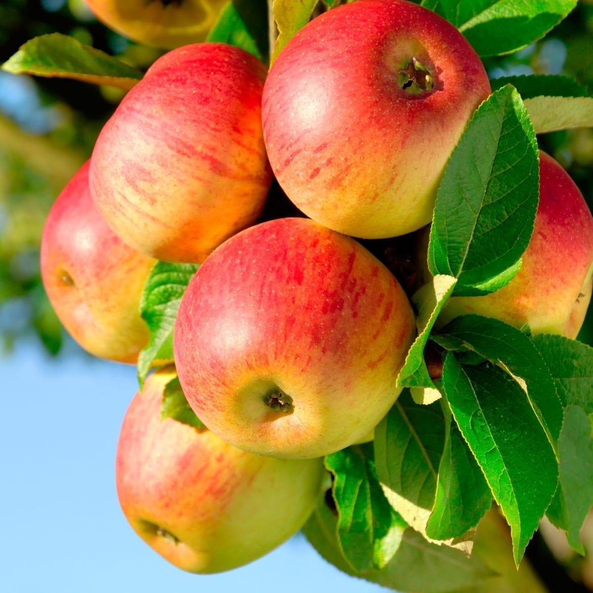 boskoopsefruitbomen | Appels