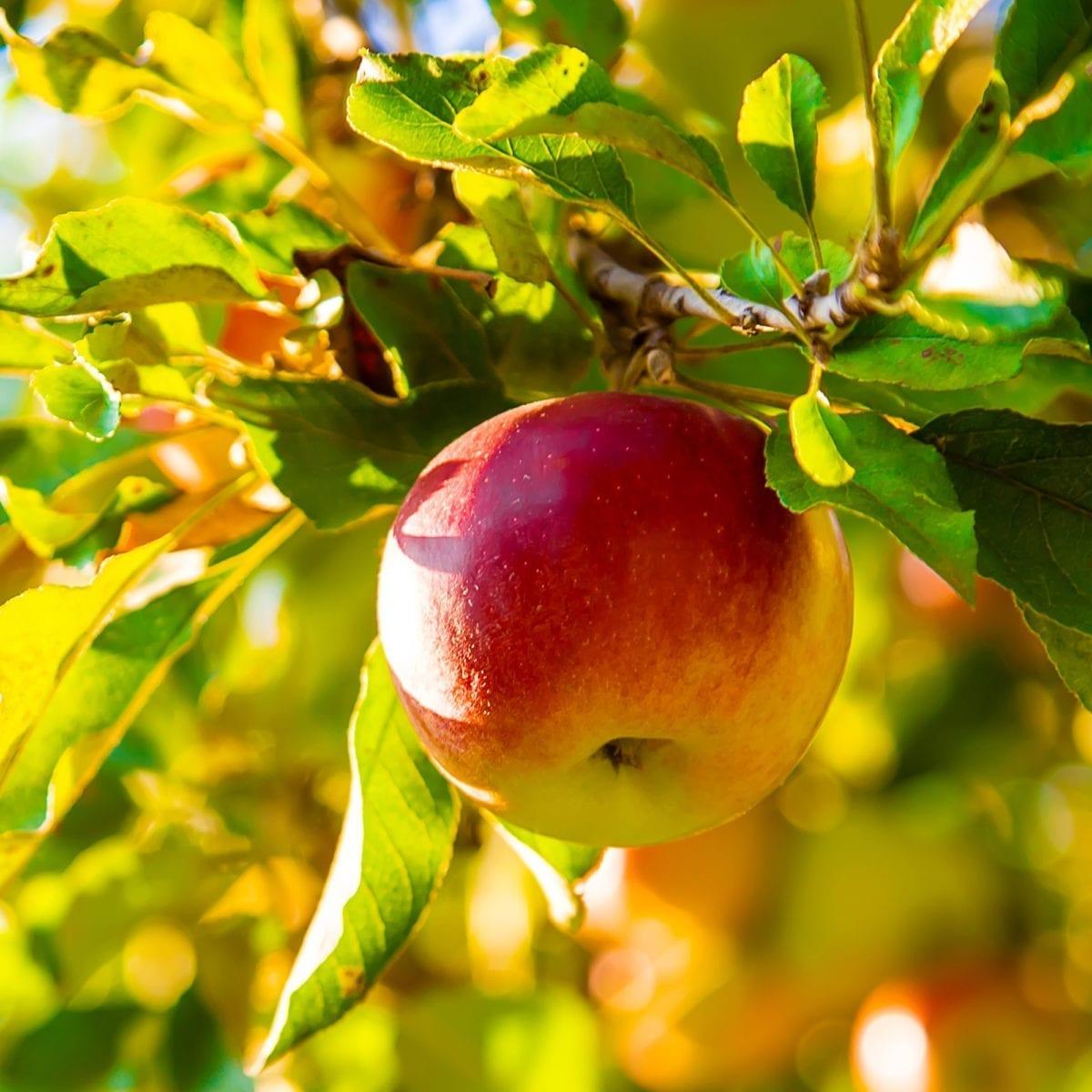 boskoopsefruitbomen | Appel sfeerfoto