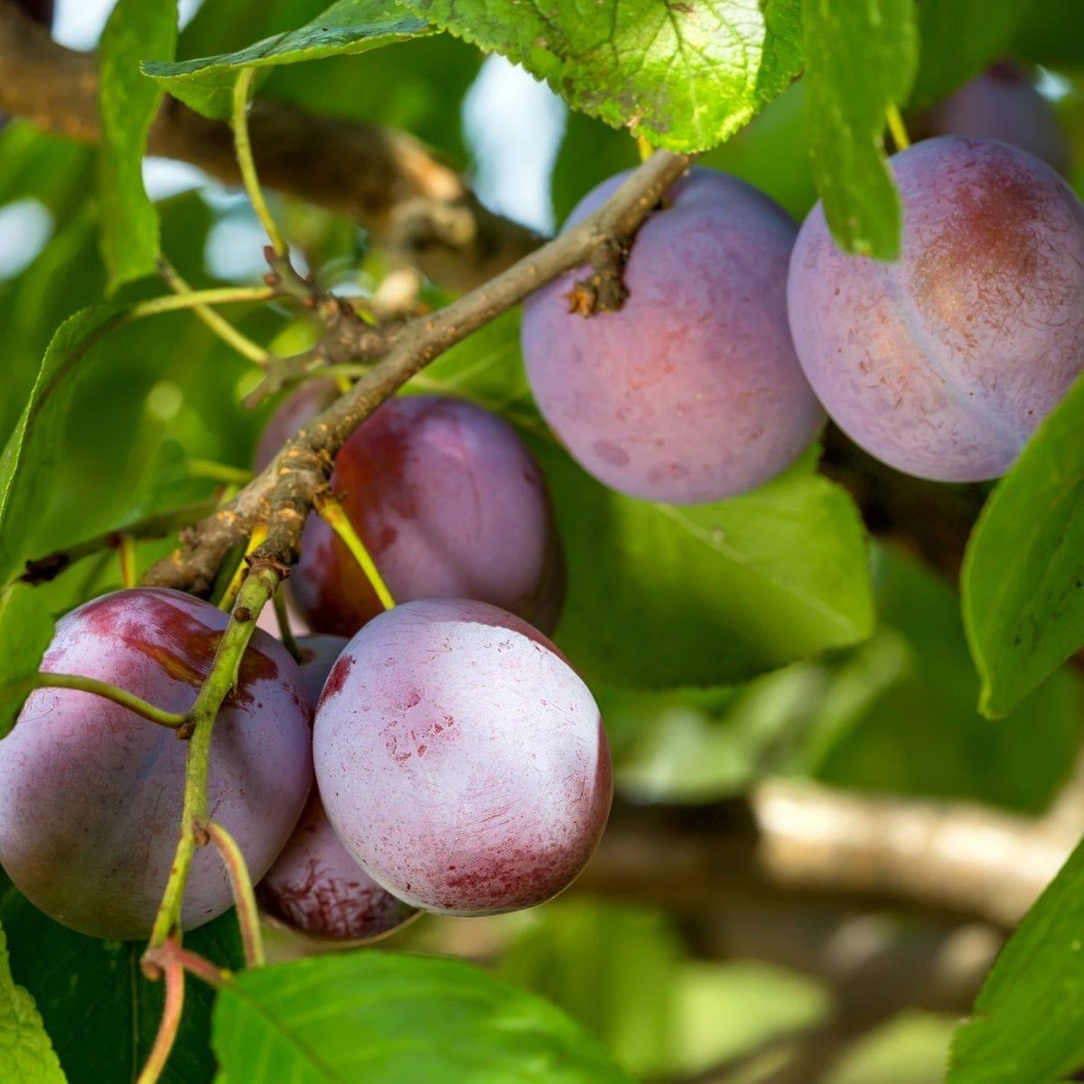 boskoopsefruitbomen   Pruim vrucht