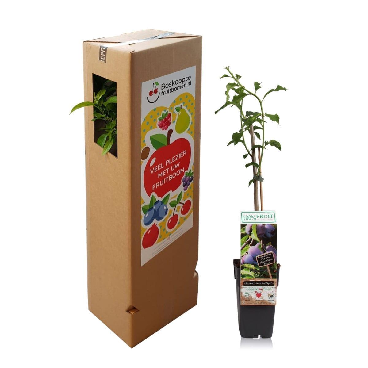 boskoopsefruitbomen   Prunus pruim met verzenddoos