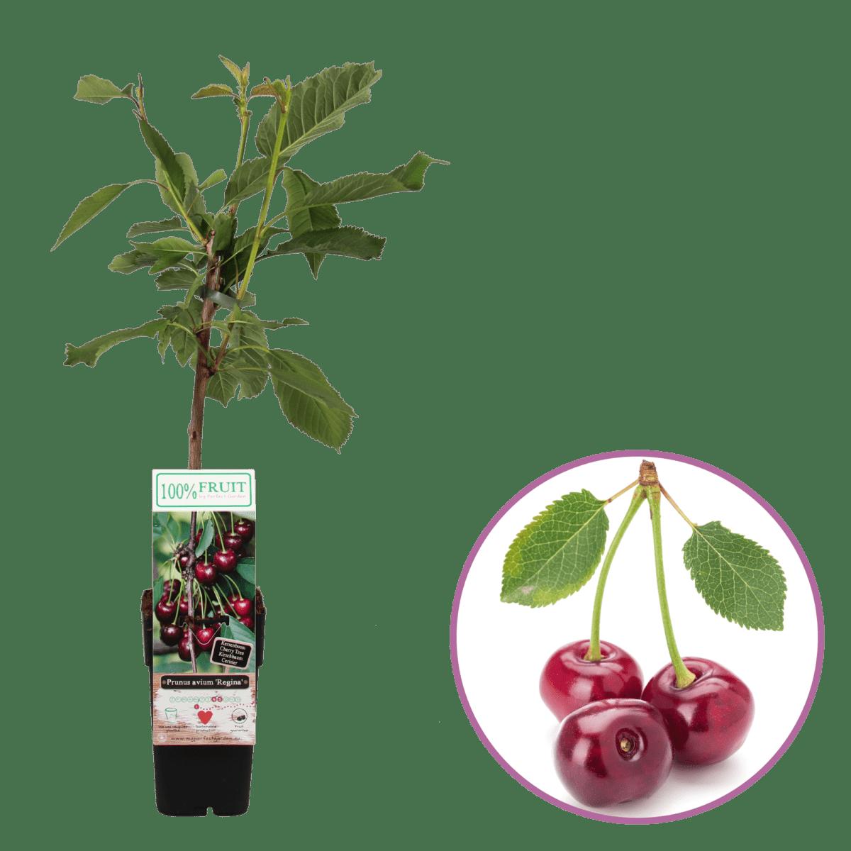 boskoopsefruitbomen | Prunus kers