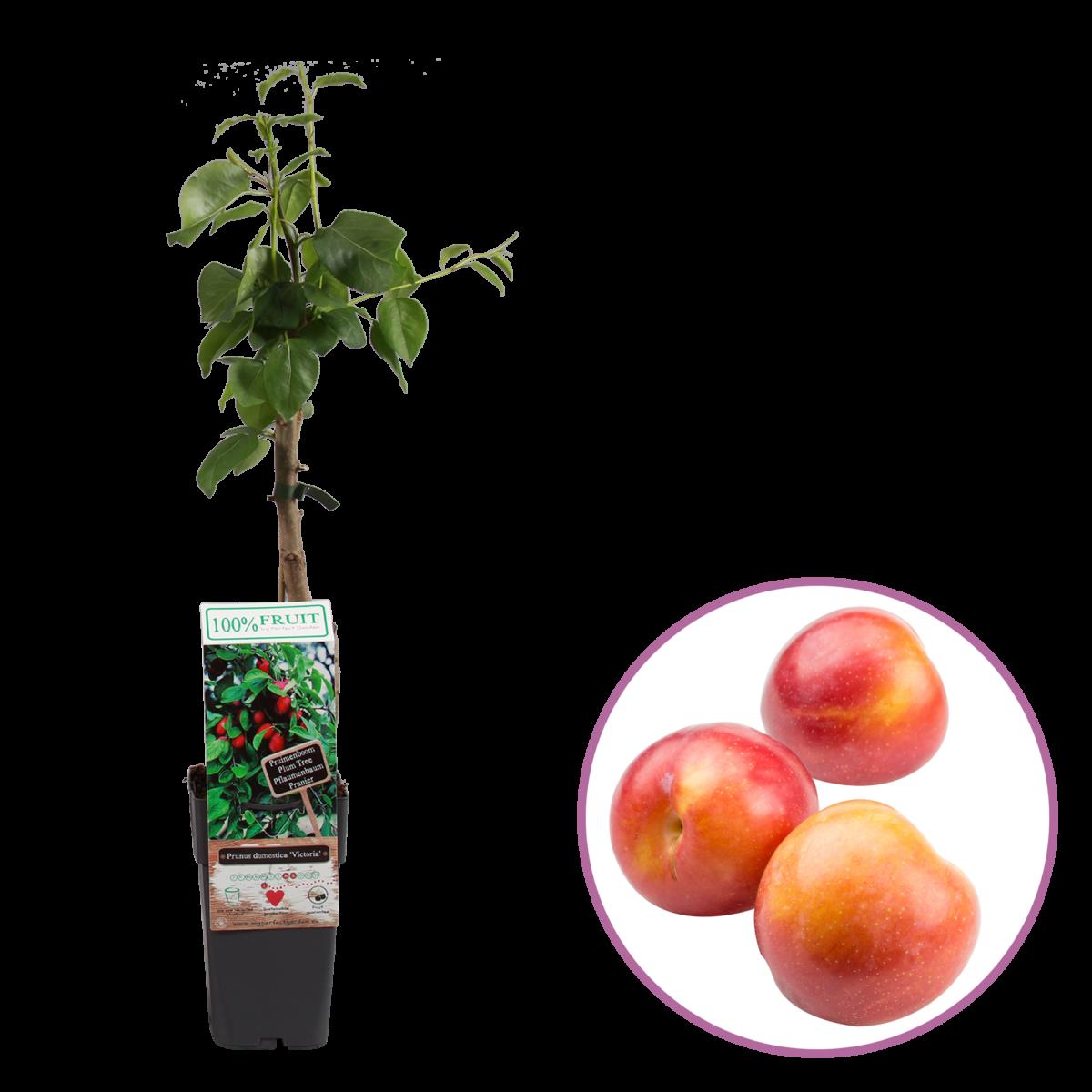 boskoopsefruitbomen | Prunus Victoria