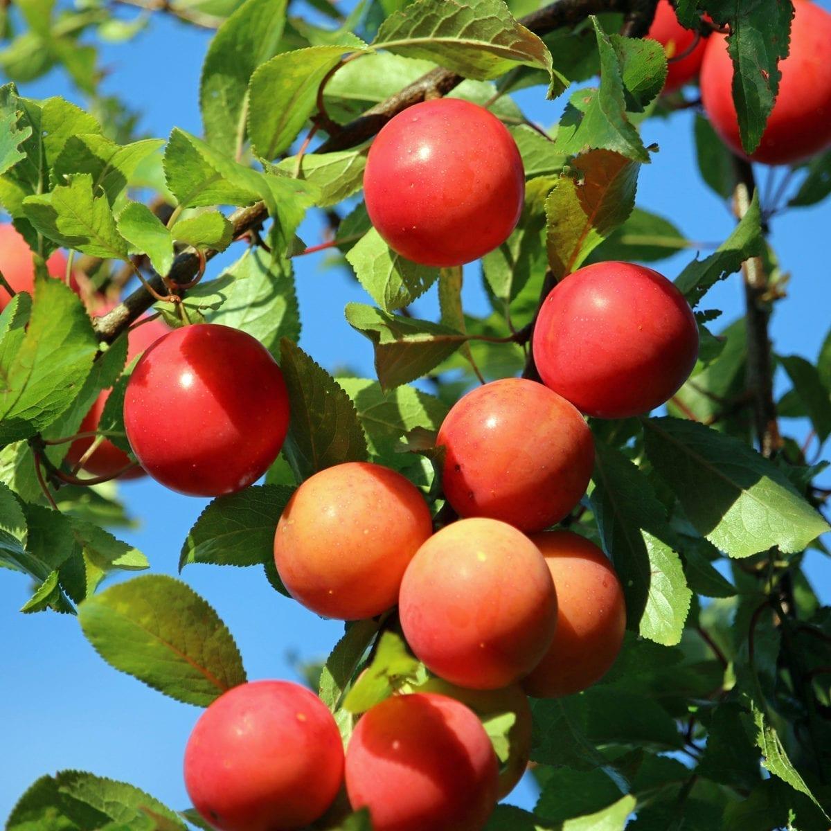 boskoopsefruitbomen | Prunus | Pruim