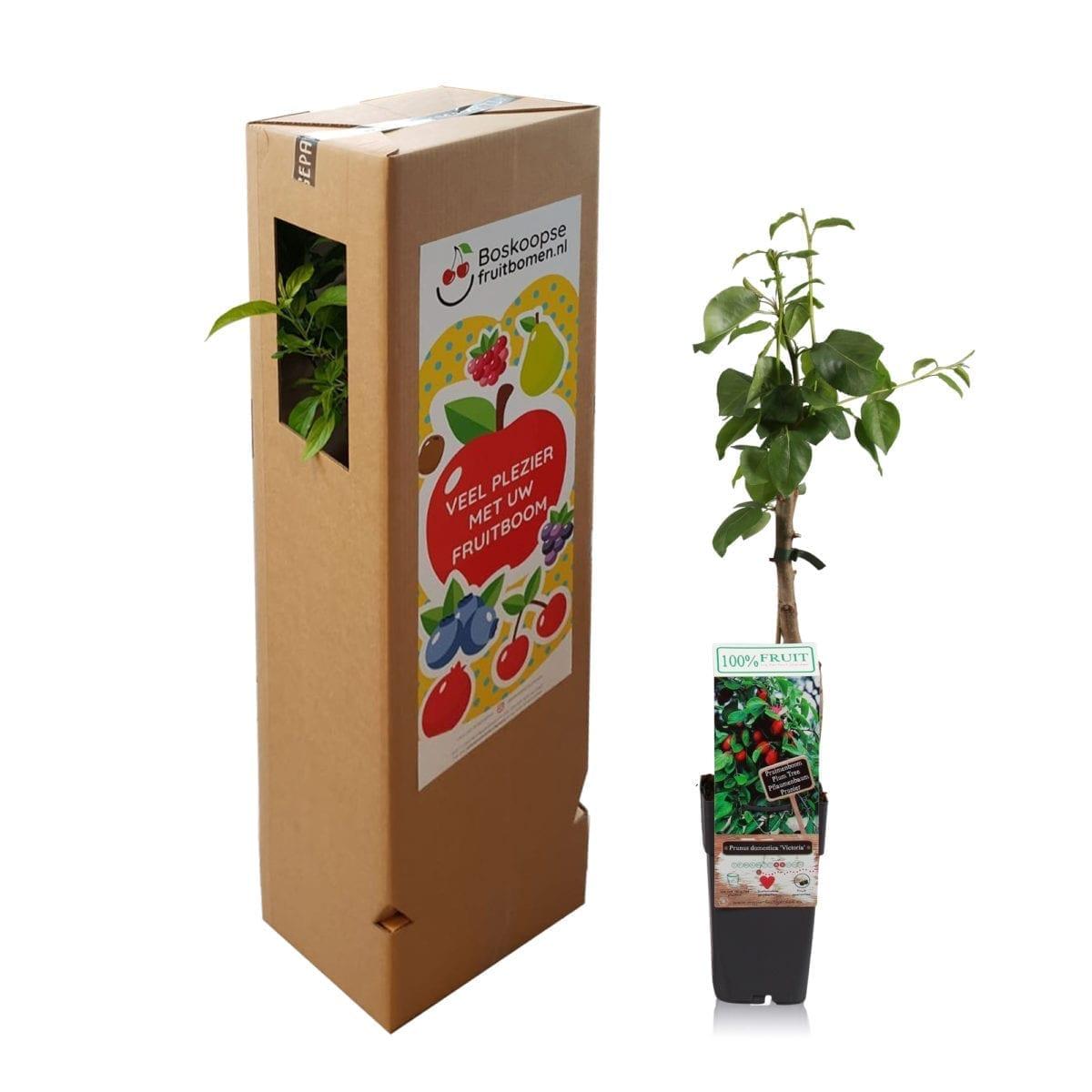 boskoopsefruitbomen | Prunus met verzenddoos