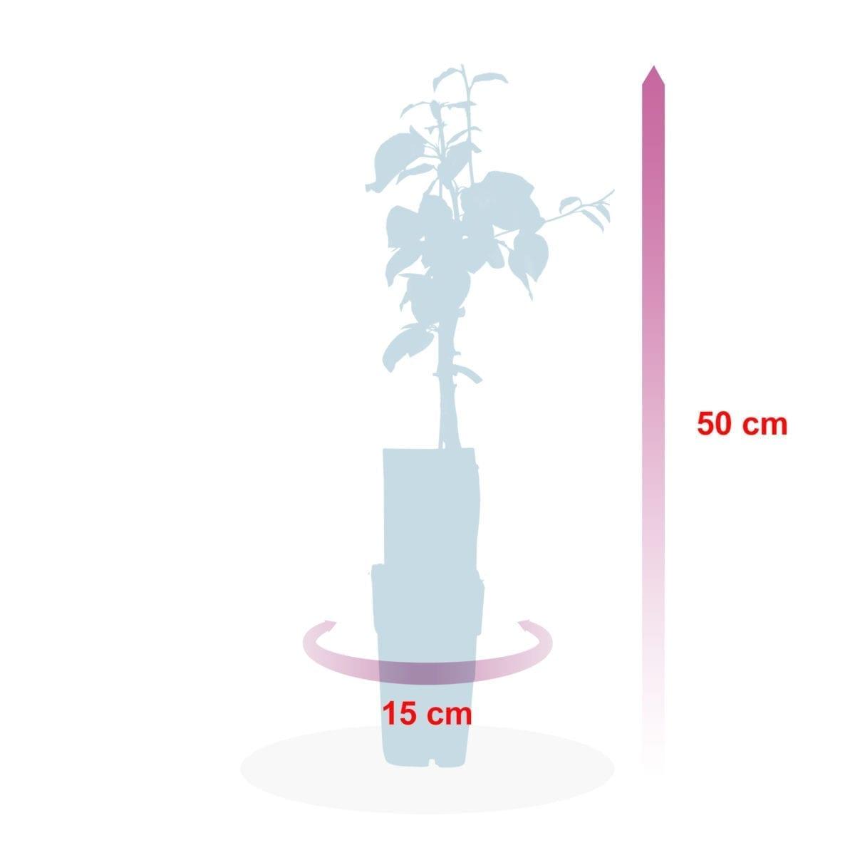 boskoopsefruitbomen | Pruim afmeting