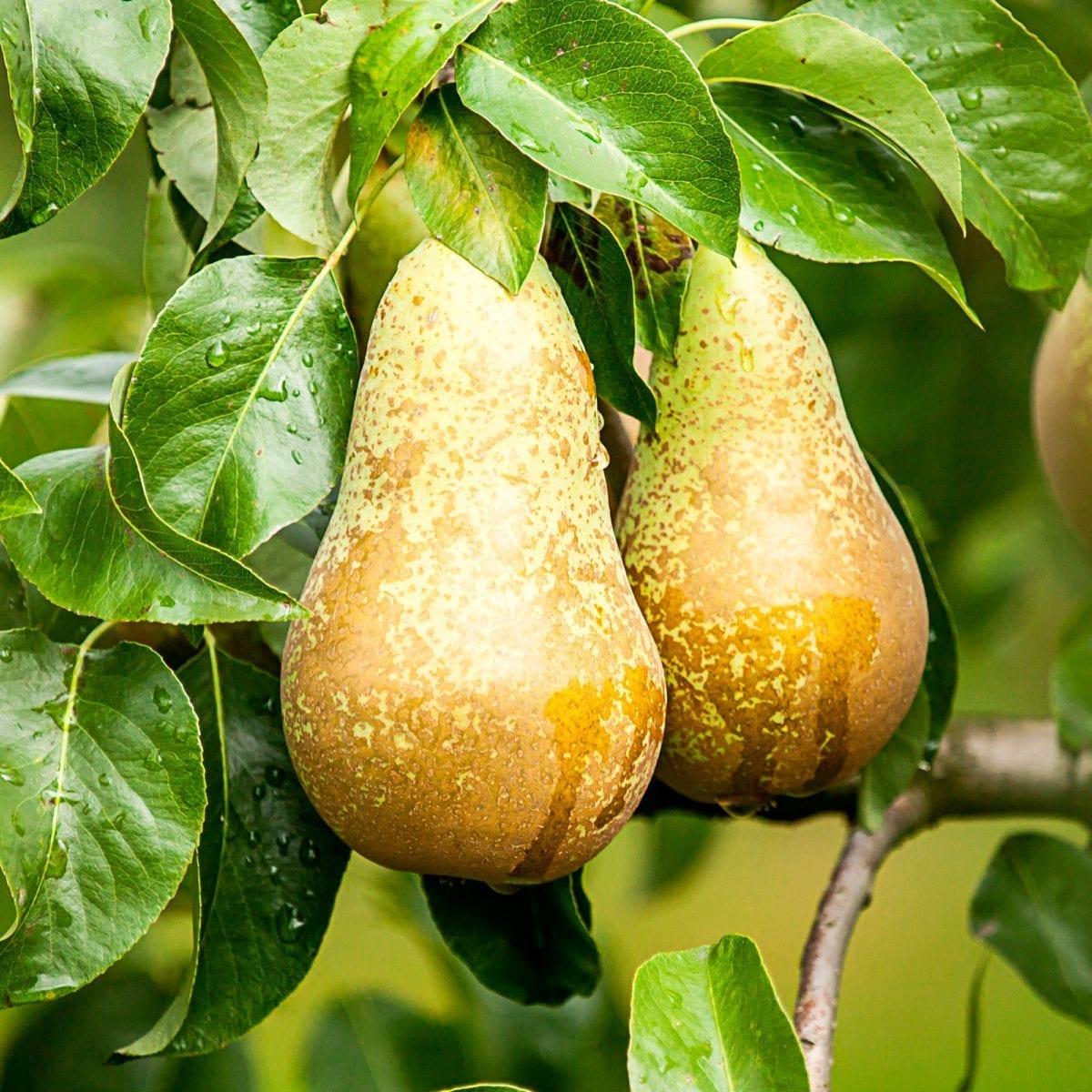 Boskoopsefruitbomen | Peer aan boom