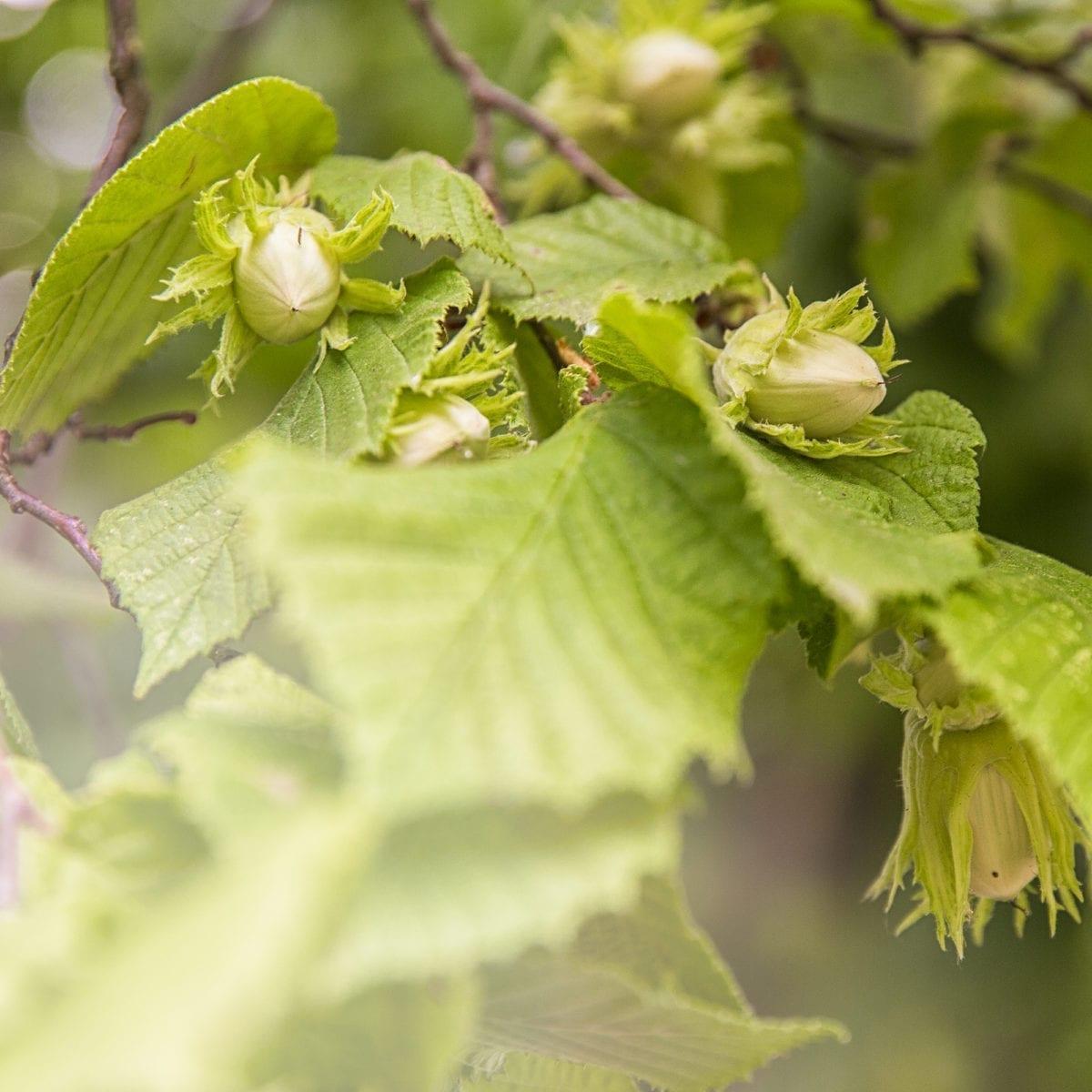 boskoopsefruitbomen | Hazelnoot