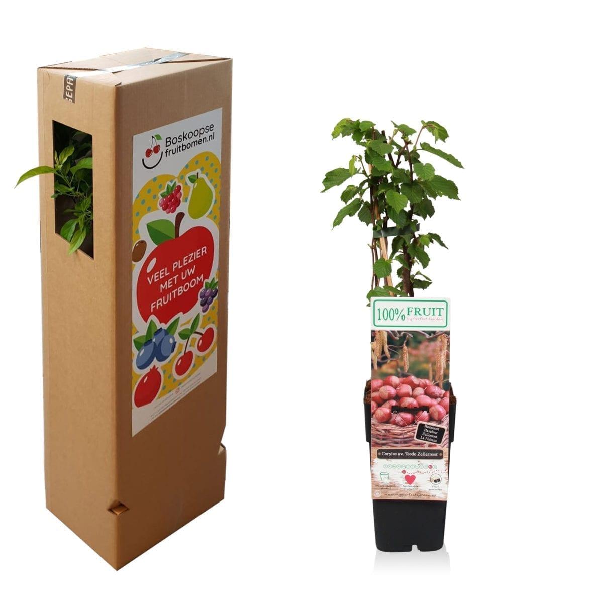 boskoopsefruitbomen | Hazelnoot met verzenddoos