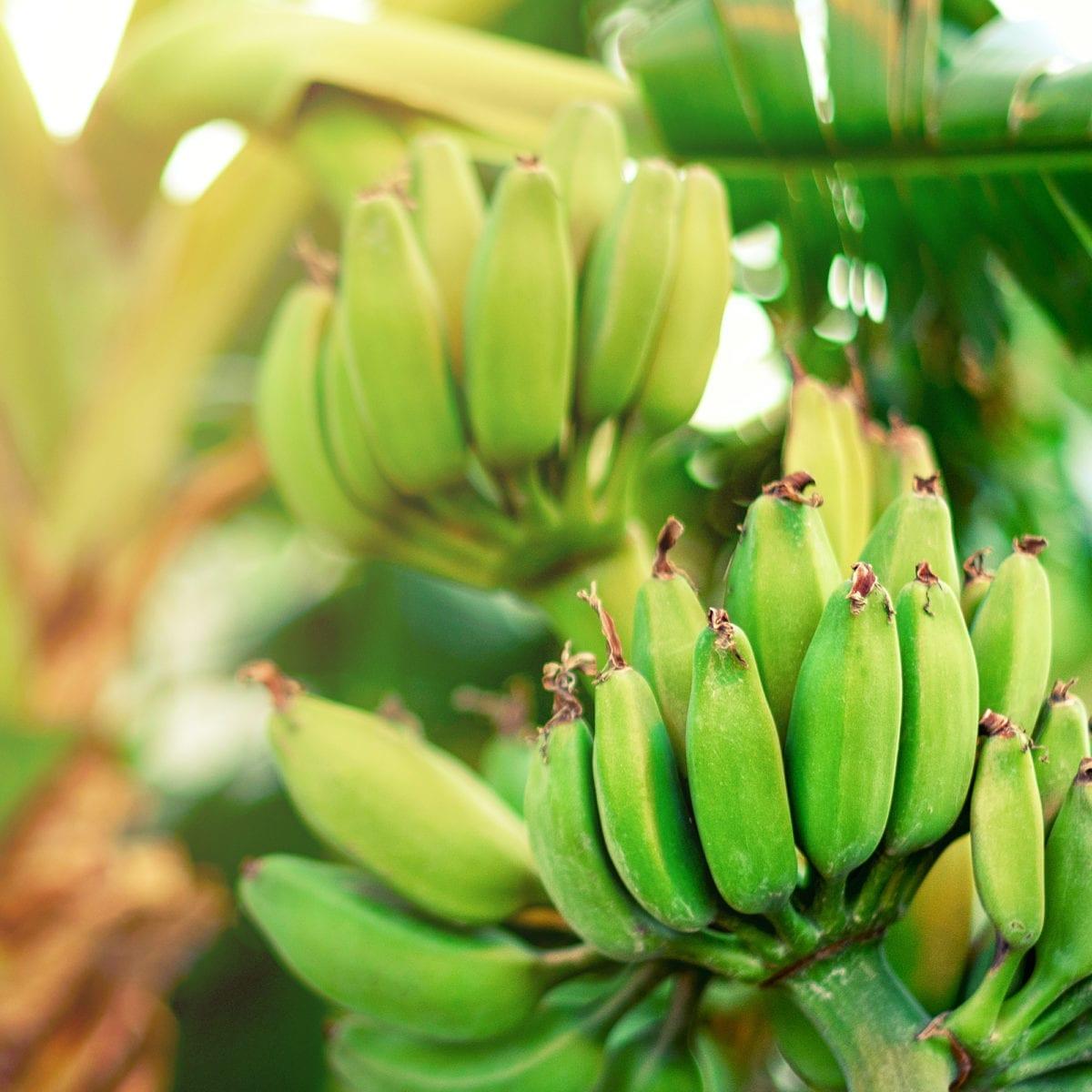 boskoopsefruitbomen | Bananenplant sfeerfoto