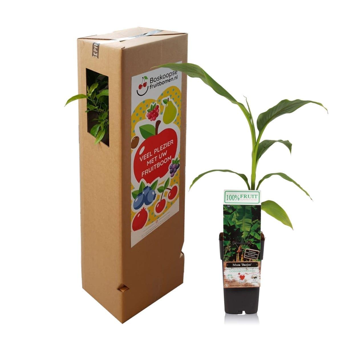 boskoopsefruitbomen | Bananenplant met verzenddoos