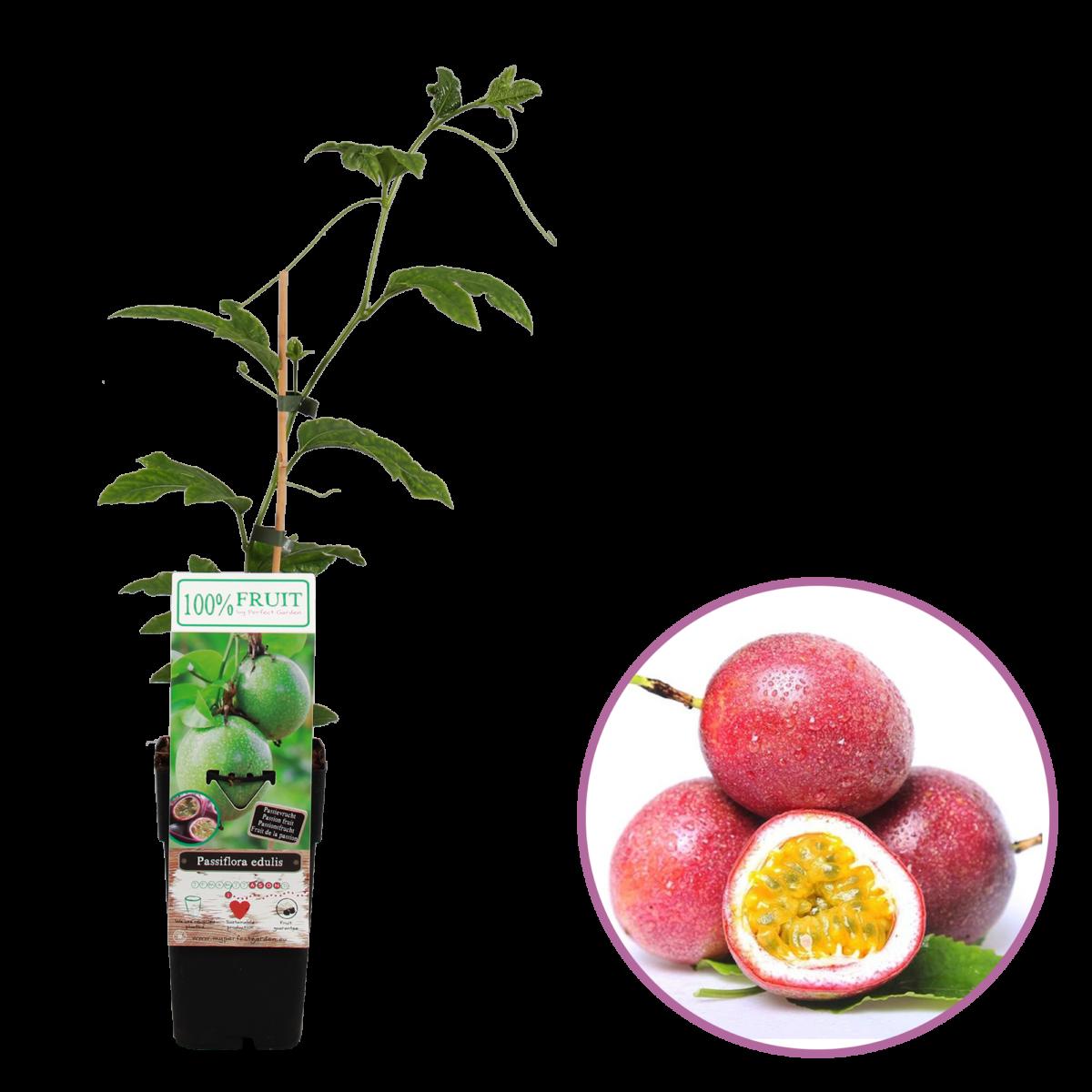 boskoopsefruitbomen | Passiflora edulis | Passievrucht