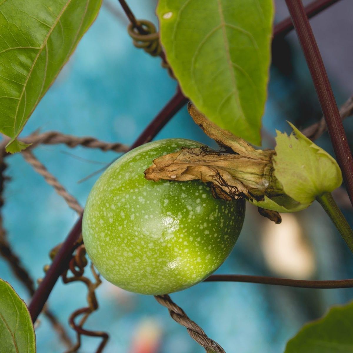 boskoopsefruitbomen   Passiflora edulis close up