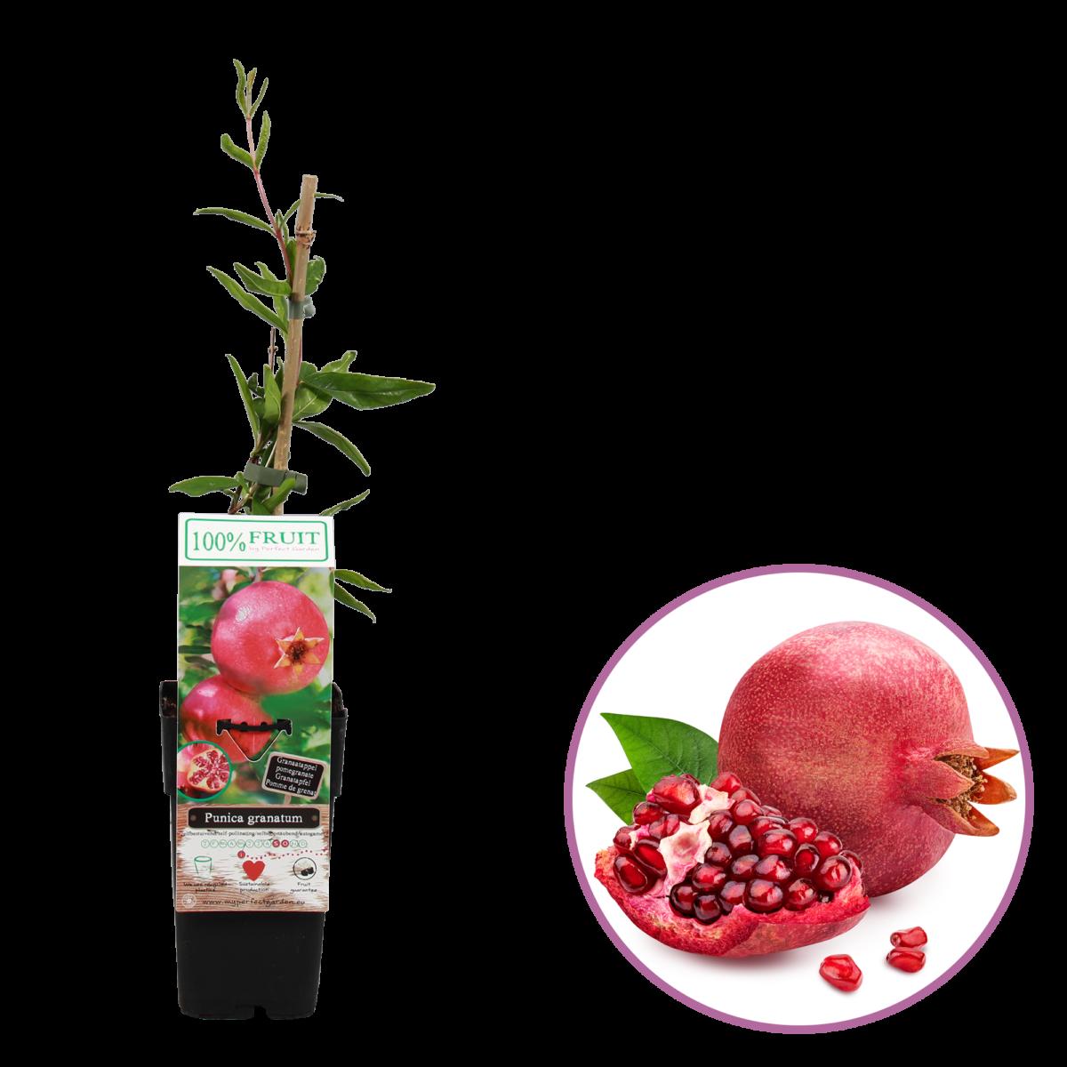 boskoopsefruitbomen | Punica | granaatappel
