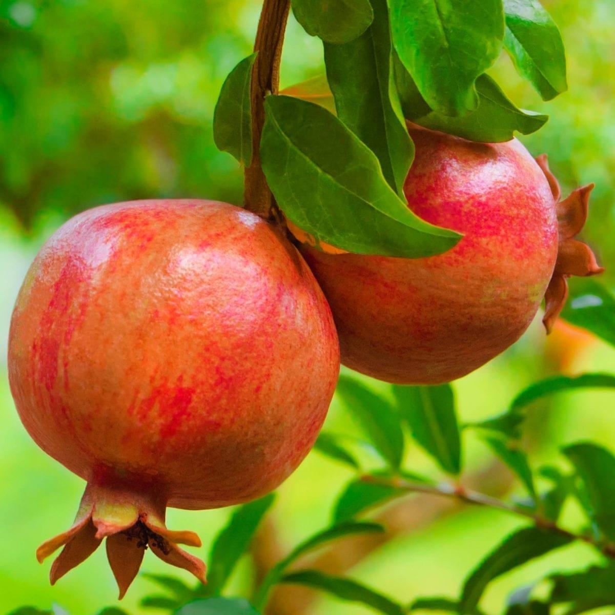 boskoopsefruitbomen | granaatappel detailfoto