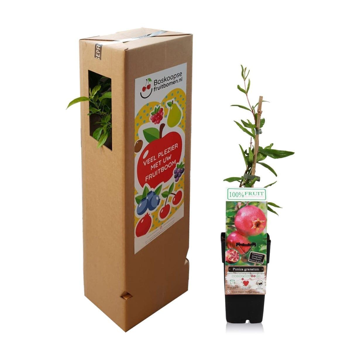 boskoopsefruitbomen | granaatappel met verzenddoos