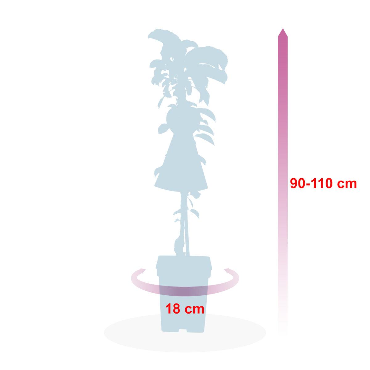 boskoopsefruitbomen | afmeting appelboom
