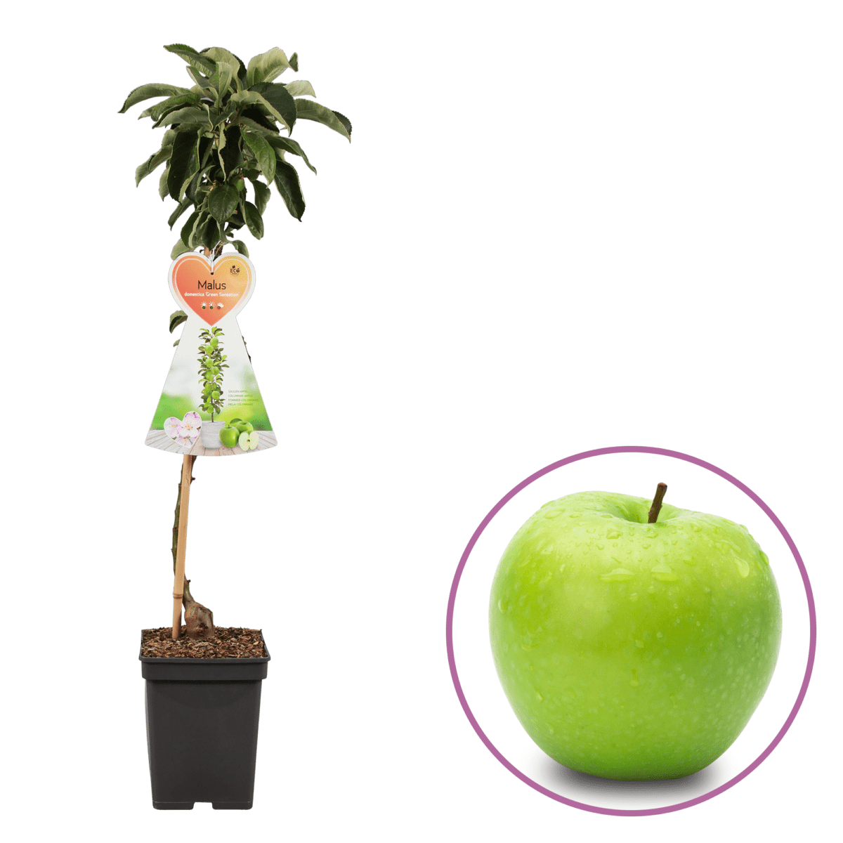 boskoopsefruitbomen | appelboom met losse appel