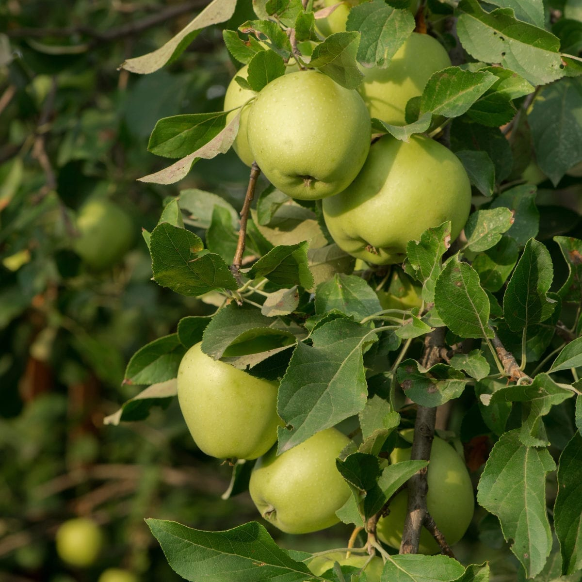boskoopsefruitbomen | Appelboom Green Sensation