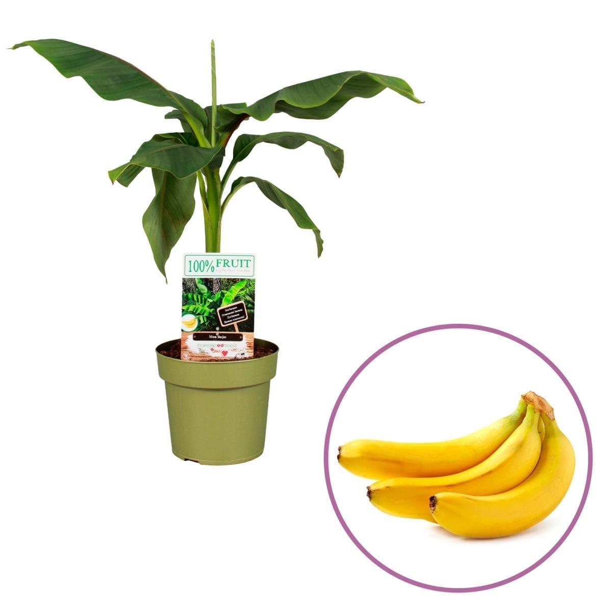 Bananenplant Musa Basjoo
