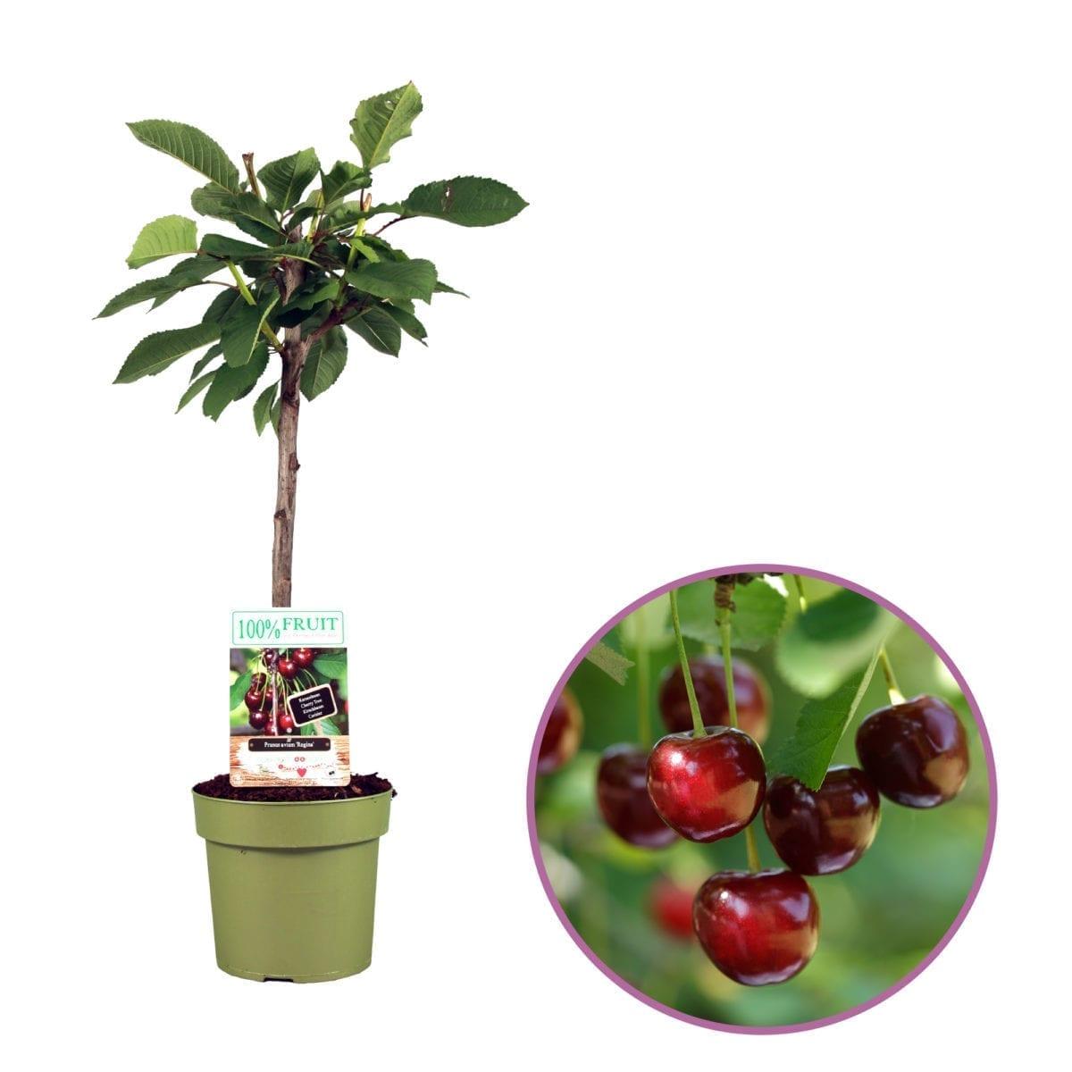 Kersenboom - Prunus avium 'Regina'