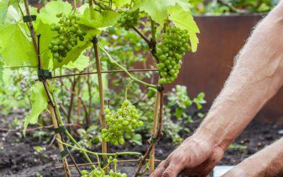 Vitis vinifera – Alle informatie over de druivenplant